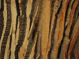 Close View of Bark on an Old Growth Cottonwood Tree