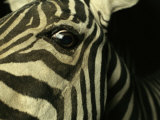Close View of Zebra Face