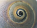 A Close View of a Moon Snail Shell, Lunatia Heros