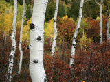 The White Bark of Autumn Colored Aspen Trees