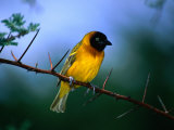 Village Weaver on Branch, Lake Baringo, Rift Valley, Kenya