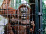 Orangutang (Pongo Pygmaeus) at Hong Kong's Zoological and Botanical Gardens, Hong Kong