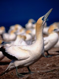 Australasian Gannets (Morus Serrator), New Zealand