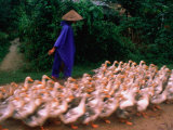 Farmer Herding a Flock of Ducks, Hue, Vietnam