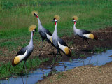 Four Grey Crowned-Cranes (Balearica Regulorum), Masai Mara National Reserve, Rift Valley, Kenya