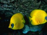 A Pair of Masked Butterflyfish (Chaetodon Semilarvatus), Red Sea, Egypt