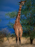 Reticulated Giraffe Eating from Tall Branch, Meru National Park, Eastern, Kenya