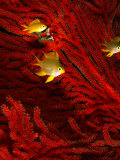Juvenile Golden Damsels in Branches of Red Seafan in Fantasy Dome, Fiji