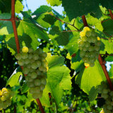 Chardonnay Grapes from the Napa Valley in California, Napa Valley, California, USA