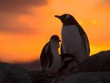 Gentoo Penguins Silhouetted at Sunset on Petermann Island, Antarctic Peninsula Photographic Print