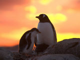 Gentoo Penguin and Chick, Antarctica Photographic Print