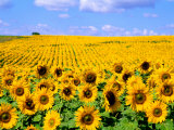 Wild Colors of Sunflowers, Jamestown, North Dakota, USA