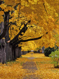 Autumn Maple Trees, Missoula, Montana, USA