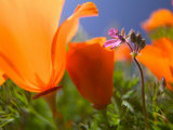 Poppies in Spring Bloom, Lancaster, California, USA