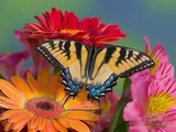 Eastern Tiger Swallowtail Female on Gerber Daisies, Sammamish, Washington, USA