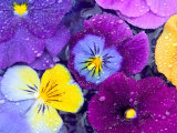 Pansy Flowers Floating in Bird Bath with Dew Drops, Sammamish, Washington, USA