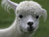 B.C., a 3-Year-Old Alpaca, at the Nu Leafe Alpaca Farm in West Berlin, Vermont