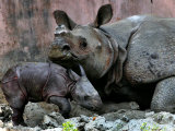 Hartali, a Rhinoceros at the Patna Zoo, is Seen with Her New Baby in Patna, India, January 24, 2007