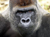 Boulas the Silverback Male Gorilla at Belfast Zoo, July 2001