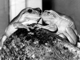Kermit and Sheila, Tree Frog Lovers Get Close, February 1987