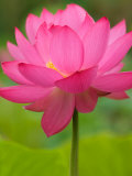 Perry's Water Garden, Lotus Flower, Franklin, North Carolina, USA