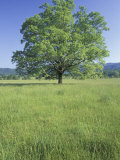 Bur Oak in Grassy Field, Great Smoky Mountains National Park, Tennessee, USA