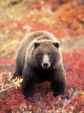 Female Grizzly Bear Foraging Red Alpine Blueberries, Denali National Park, Alaska, USA Photographic Print