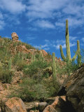 Saguaro Cactus in Sonoran Desert, Saguaro National Park, Arizona, USA