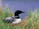 Wonder Lake and Common Loon on Nest, Denali National Park, Alaska, USA