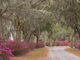 Bonaventure Cemetery with Moss Draped Oak, Dogwoods and Azaleas, Savannah, Georgia, USA