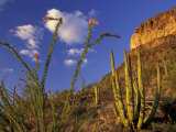 Organ Pipe Cactus with Ocotillo, Organ Pipe Cactus National Monument, Arizona, USA