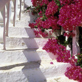 Bougainvilleas