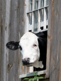 A Cow Peers out of a Barn Window in Sutton, N.H.