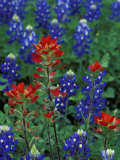 Texas Bluebonnet and Indian Paintbrush, Texas, USA