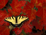 Tiger Swallowtail on Maple Leaves, Michigan, USA