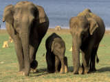 Asian Elephant Family, Nagarhole National Park, India