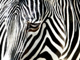A Zebra at the Frankfurt Zoo