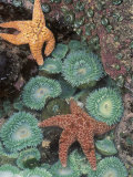 Tidepool of Sea Stars, Green Anemones on the Oregon Coast, USA