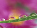 Asters in Water Droplets