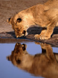 Lioness (Panthera Leo) Surprised by Her Reflection Growls in Anger, Chobe National Park, Botswana