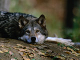 Wolf (Canis Lupus) Lying Down, USA