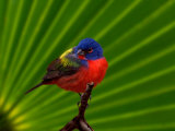 Male Painted Bunting, Everglades National Park, Florida, USA