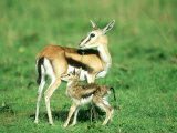 Thomsons Gazelle, with Baby, Kenya