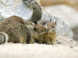 Beecheys Ground Squirrel, Squirrels Greeting, California, USA