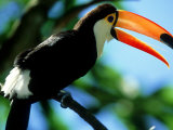Toco Toucan, Iguacu National Park, Brazil