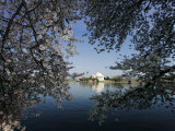 Cherry Blossoms Line the Tidal Basin