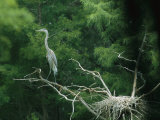 A Great Blue Heron Perches on a Branch Next to Its Nest