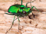 Portrait of a Six-Spotted Green Tiger Beetle, Cincindela Formosa