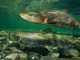 Pair of Atlantic Salmon Paired Off during Spawning Season