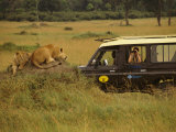 Tourist Views Lions from a Safari Jeep